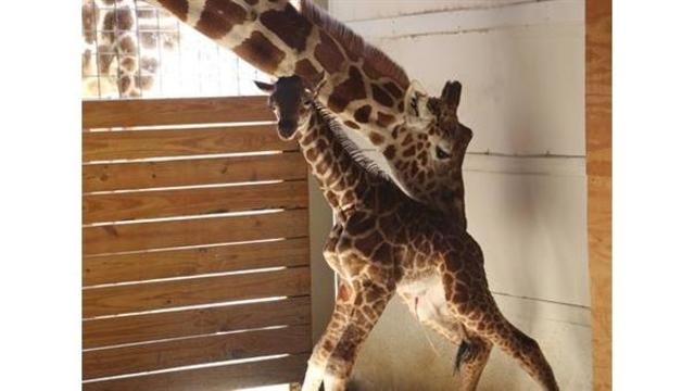 Animal Adventure Park: Now Safe to Breed April the Giraffe