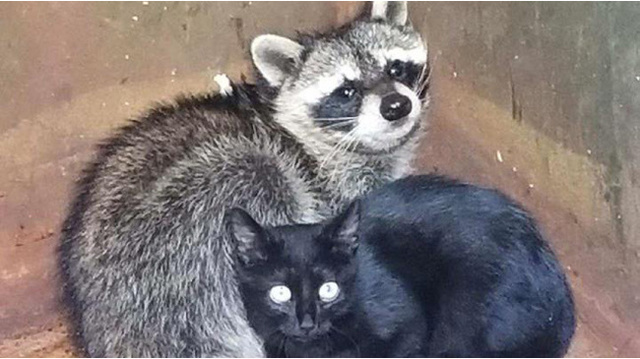 Police officer rescues kitten, raccoon found cuddling in dumpster