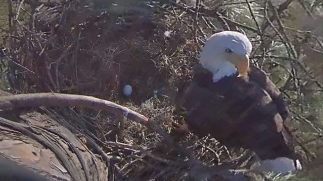 BABY EAGLE BIRTH: 2nd egg from beloved Florida eagles Harriet, M15 hatching