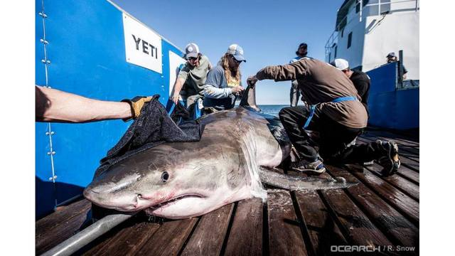 Great white shark 'Hilton' being tracked in Atlantic Ocean