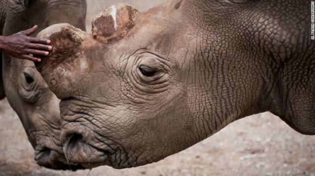 The world's last male northern white rhino is on death watch