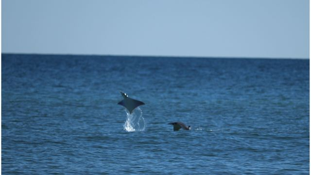 PHOTOS: Viewer captures pictures of flying rays in Orange Beach