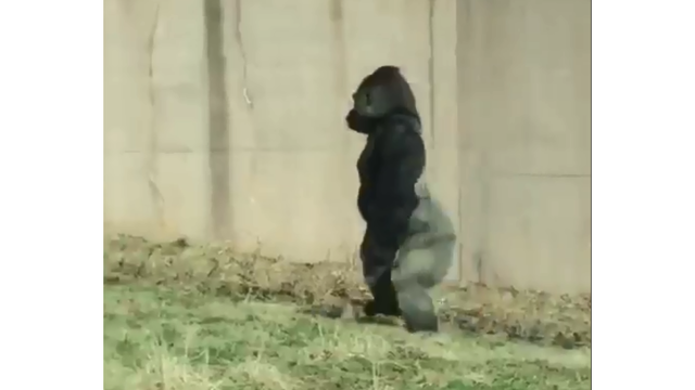 Philadelphia Zoo gorilla's human-like walk goes viral