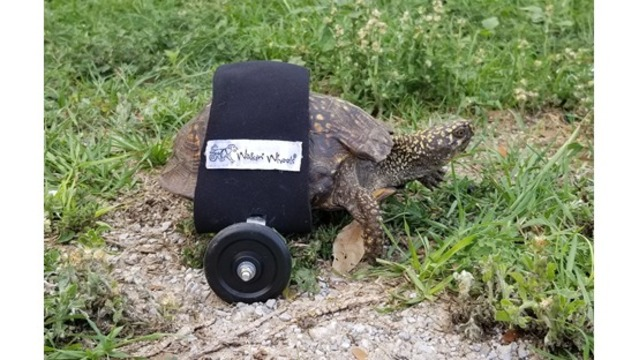Injured turtle given first ever turtle wheelchair